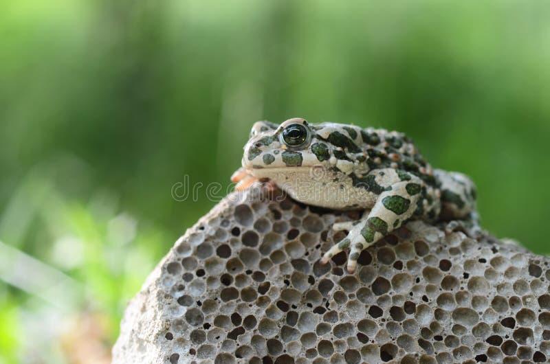察觉了一只土制蟾蜍坐石头,特写镜头 Bufo bufo 绿色蟾蜍Bufo viridis照片宏指令 免版税库存图片