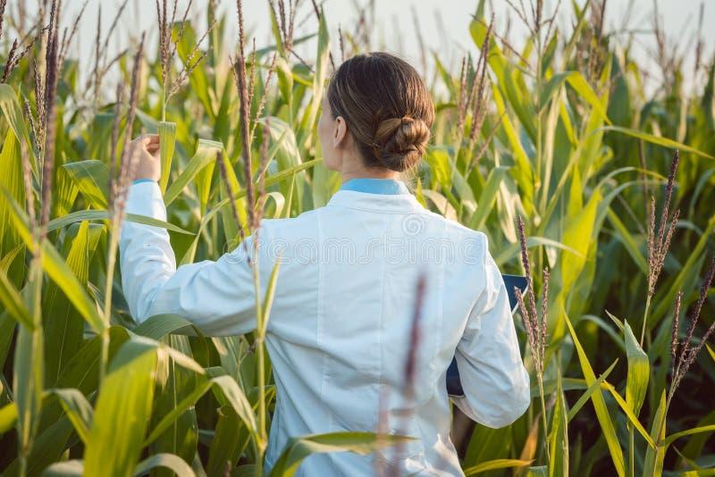 对一个新的GMO品种作现场试验的玉米的科学家 图库摄影