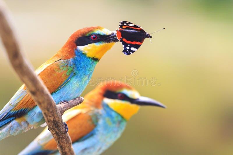 对与一只色的蝴蝶的异乎寻常的鸟在额嘴 图库摄影