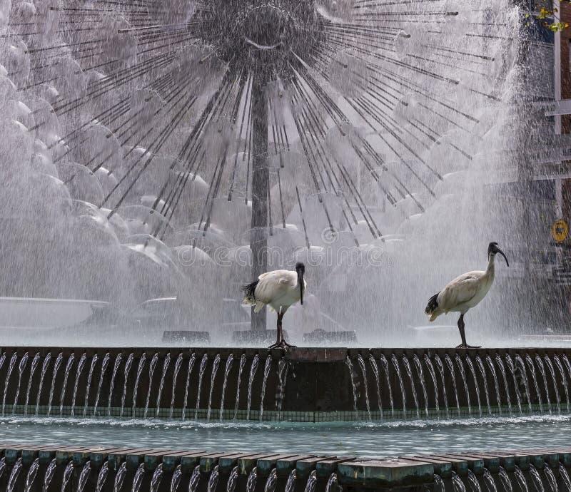 对与美丽的阿莱曼纪念喷泉的朱鹭鸟在背景中,Cross,悉尼,澳大利亚国王 免版税库存图片