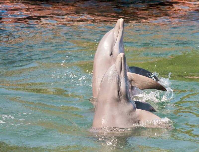 对与面孔的海豚在水外面 免版税图库摄影