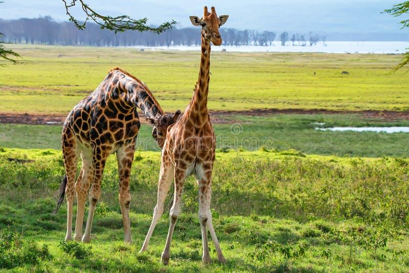 对乌干达长颈鹿在大草原浏览 免版税库存照片