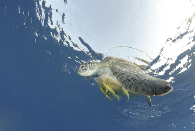 对乌龟的接近的绿色海洋海运表面 免版税库存照片