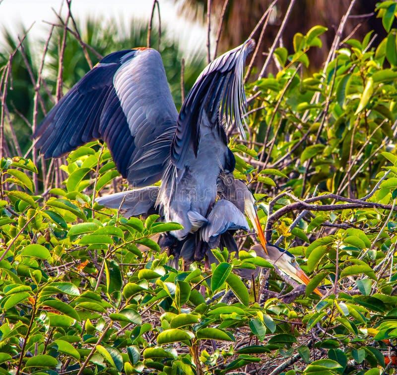 对伟大蓝色的苍鹭的巢联接 库存照片