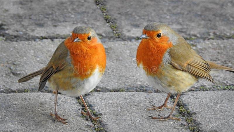 对友好的知更鸟 免版税库存照片