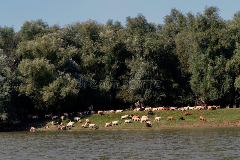 对吃草的山羊群在江边 库存照片