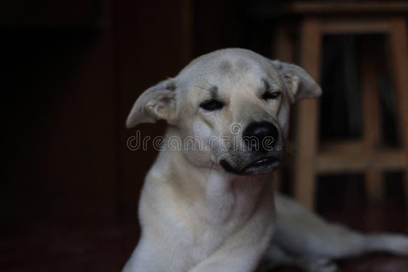 对困的布朗狗 库存照片