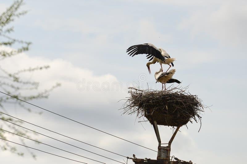 对在巢的两白色鹳在路灯柱 免版税库存图片
