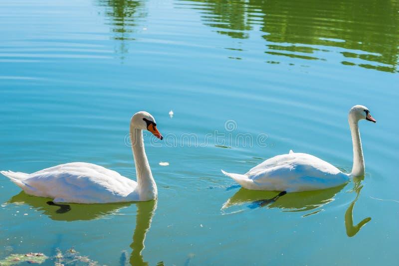 对在池塘的美丽的白色天鹅 库存图片