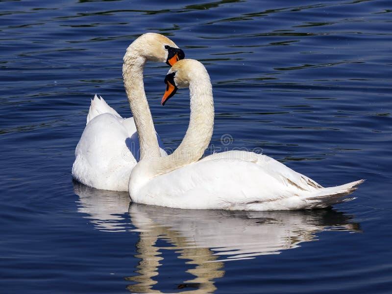 对在爱的白色天鹅 免版税库存图片