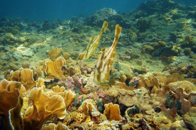 对在珊瑚礁的橙色鳞鲆科鱼 免版税图库摄影