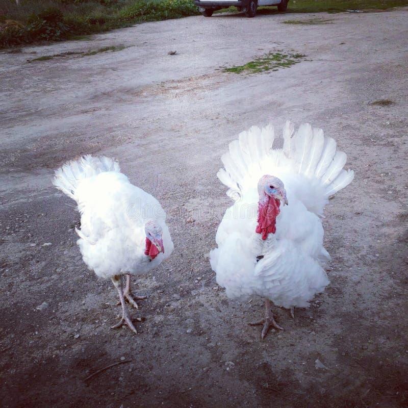 对在粗木垫的白色火鸡 免版税库存照片
