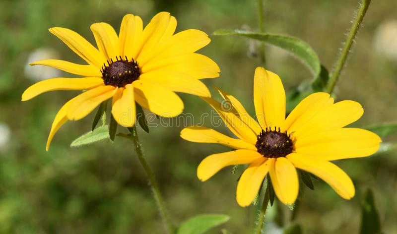 对在绽放的开花的黑眼睛的苏珊花 库存照片