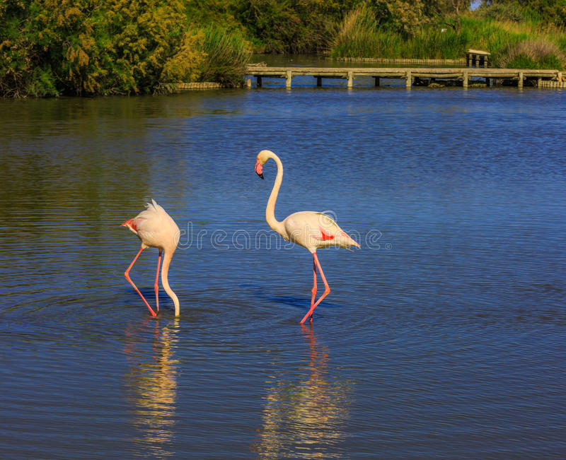 对在罗讷的三角洲的桃红色火鸟 库存照片