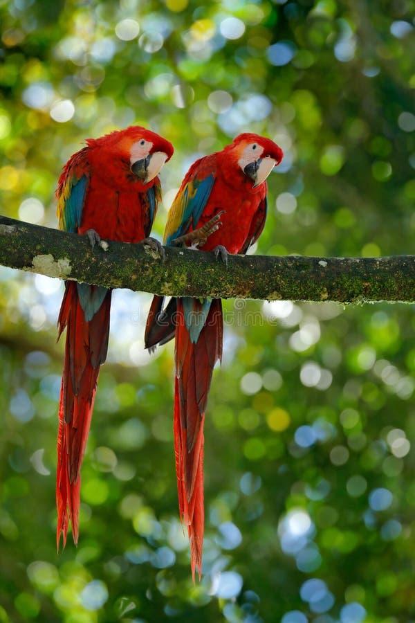 对大鹦鹉猩红色金刚鹦鹉, Ara澳门,两只鸟坐分支,哥斯达黎加 野生生物从热带森林natur的爱情戏 图库摄影