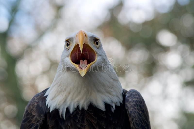 对它的伙伴的白头鹰电话被看见紧密  图库摄影