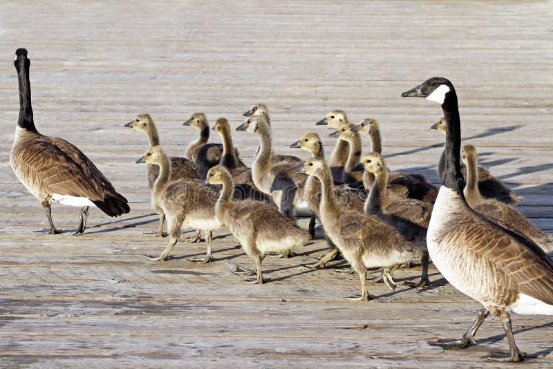 对成人加拿大鹅带领他们的横跨木板走道的年轻幼鹅 库存照片