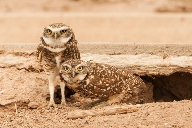 对挖洞猫头鹰 免版税图库摄影