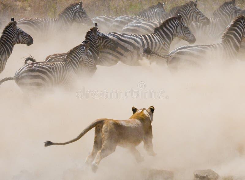 对斑马的雌狮攻击 国家公园 肯尼亚 坦桑尼亚 mara马塞语 serengeti 免版税库存图片