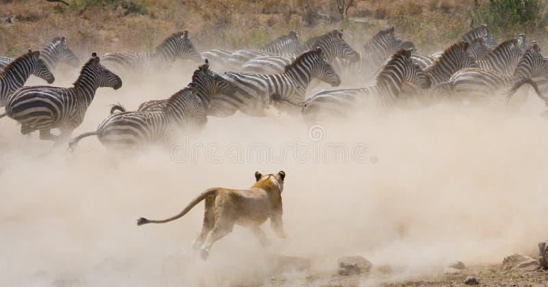 对斑马的雌狮攻击 国家公园 肯尼亚 坦桑尼亚 mara马塞语 serengeti 图库摄影