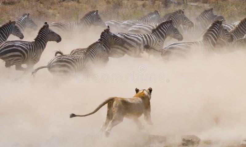 对斑马的雌狮攻击 国家公园 肯尼亚 坦桑尼亚 mara马塞语 serengeti 库存照片