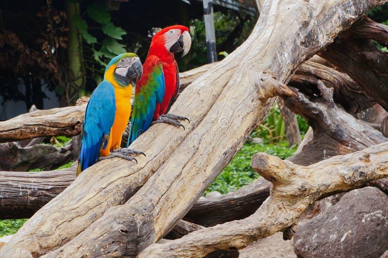 紧贴对树枝的金刚鹦鹉 免版税库存照片