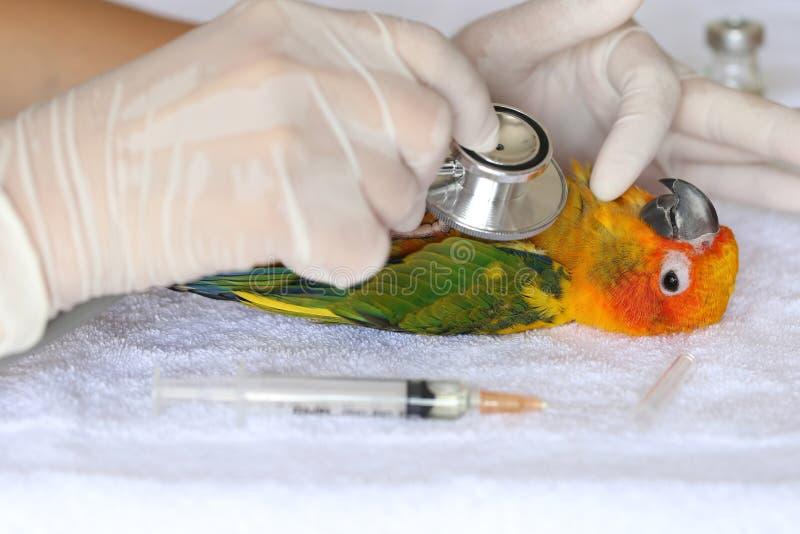 对检查病的鹦鹉,太阳conure长尾小鹦鹉Aratinga solstitialis的兽医妇女手藏品听诊器 免版税库存图片