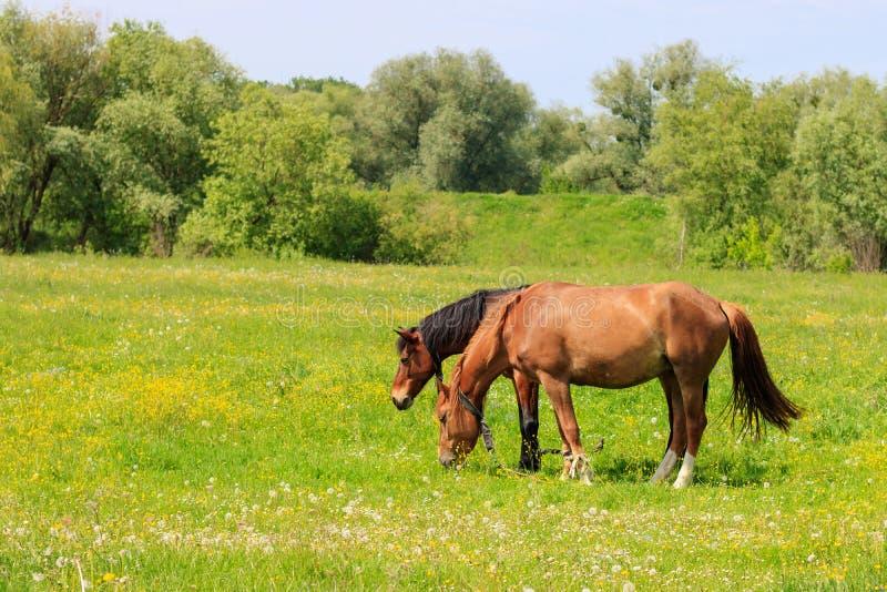 对棕色马在一个绿色草甸吃草在一个晴朗的夏日 库存图片