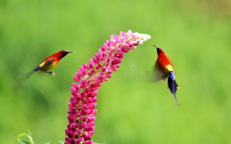 对爱情鸟在花附近使用 图库摄影