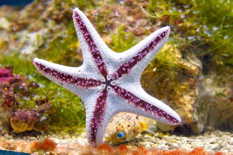 对玻璃的海星棍子在水族馆 免版税库存照片