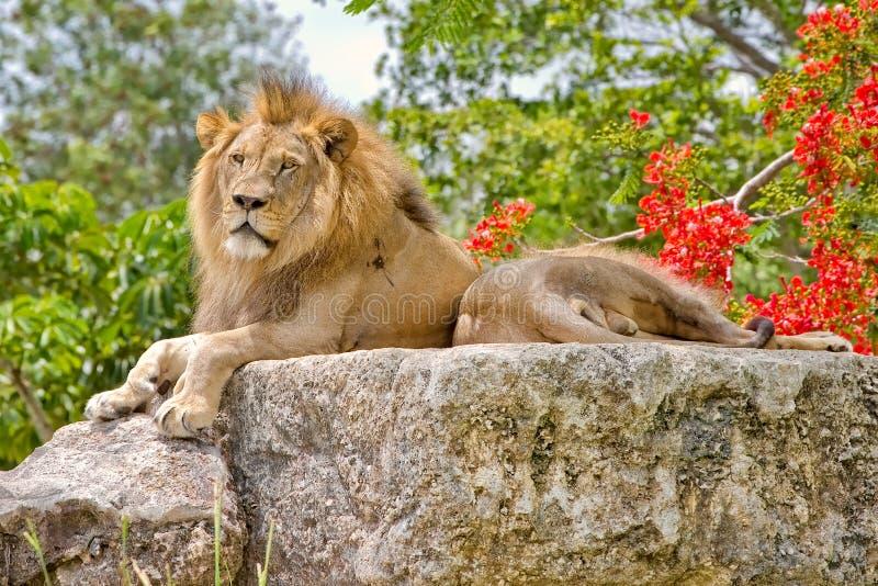 对男性狮子休息 免版税库存图片