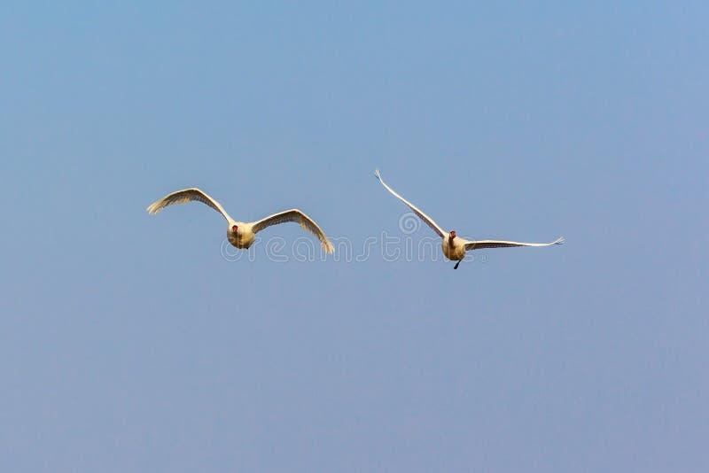 对疣鼻天鹅飞行 图库摄影