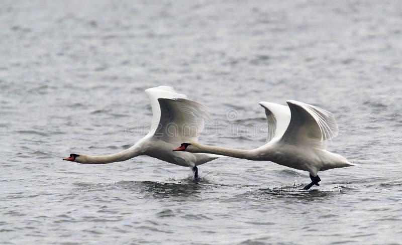 对疣鼻天鹅飞行 免版税库存照片