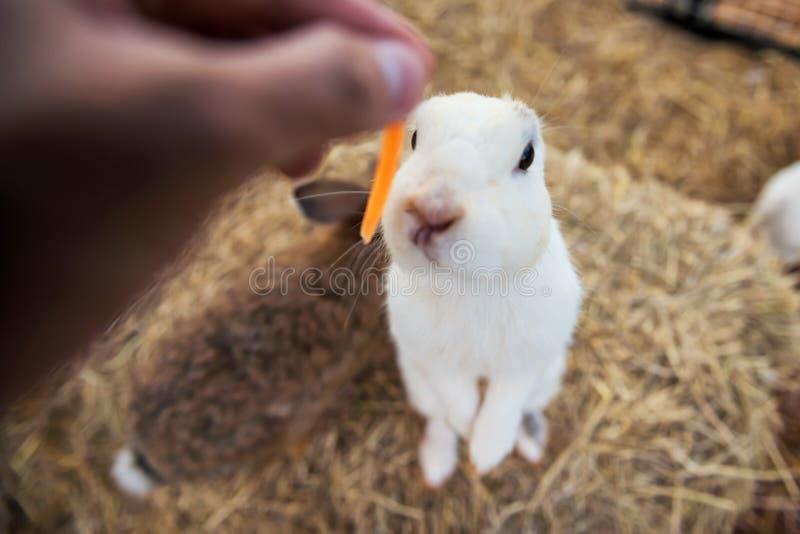对白色蓬松兔子的饲料红萝卜 库存照片