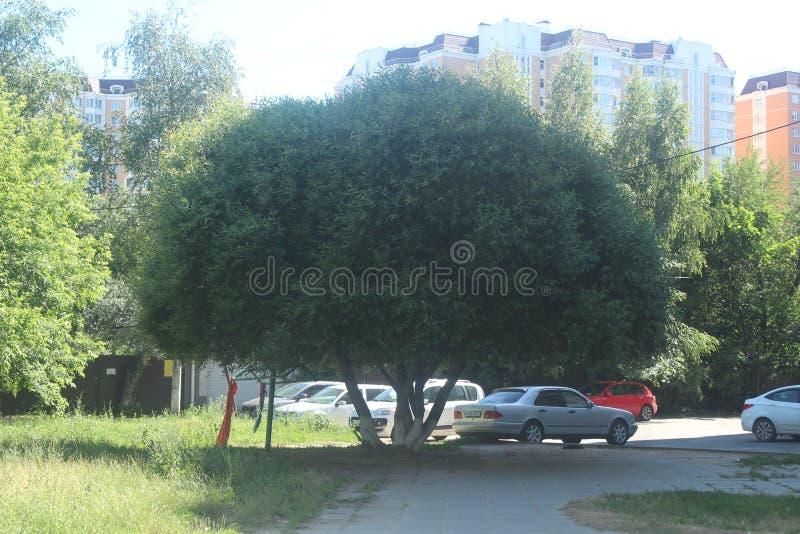 对科罗廖夫的步行 在高尔基街的树 免版税图库摄影