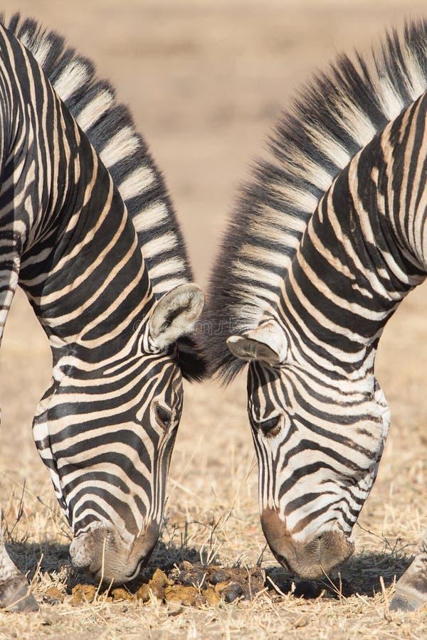对称斑马,克鲁格公园,南非 免版税库存照片
