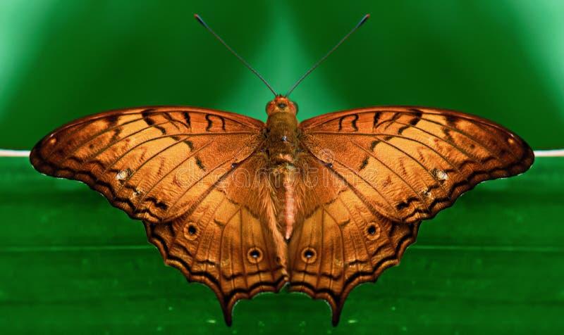 对称棕色蝴蝶 免版税图库摄影