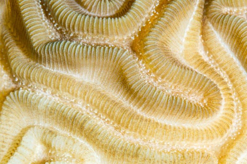对称脑珊瑚特写镜头 免版税图库摄影