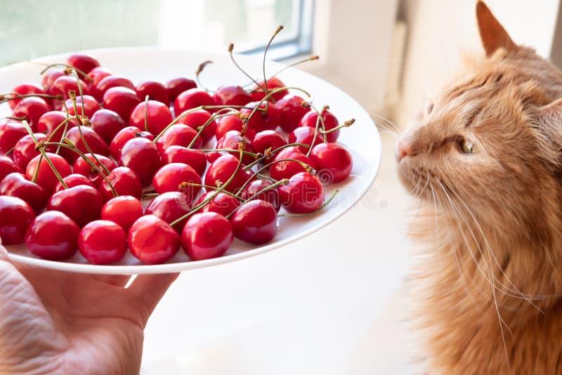 对红色猫侧视图的提供的樱桃 库存照片