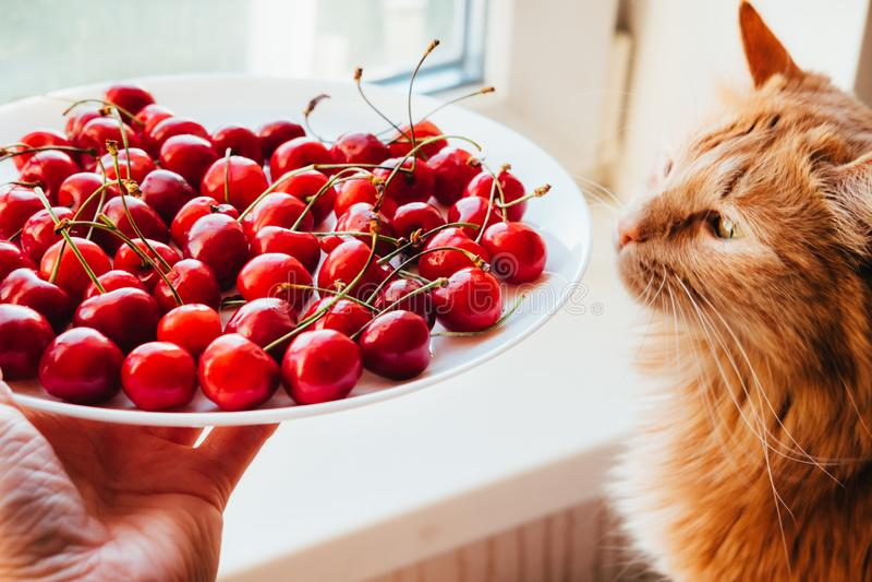 对红色猫侧视图的提供的樱桃 免版税库存照片