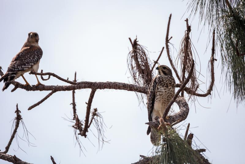 对红色被担负的鹰鸟鵟鸟lineatus 图库摄影
