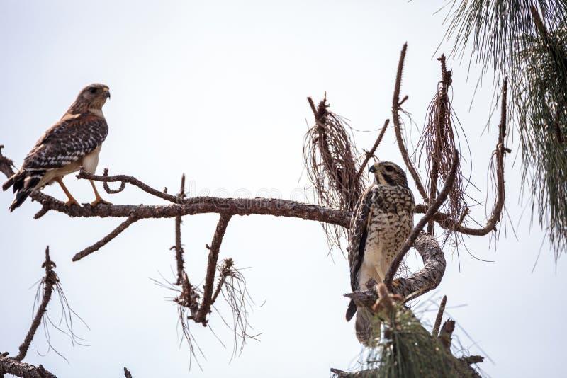 对红色被担负的鹰鸟鵟鸟lineatus 免版税库存照片