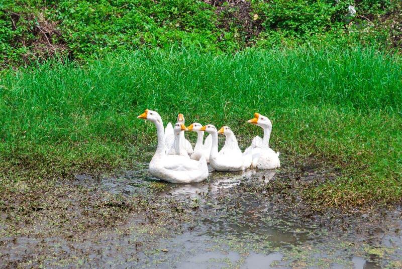 对美丽的白色鹅,分析服务公司Cygnoides家庭的特写镜头,演奏泥泞的水 库存图片