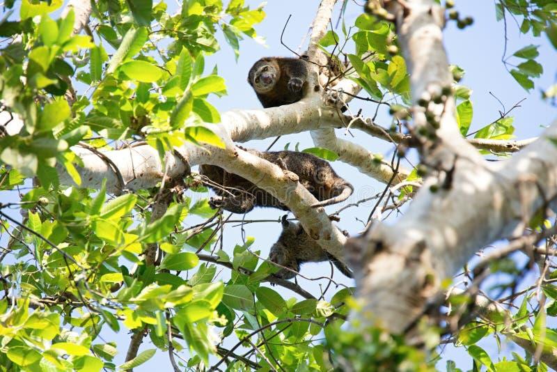 对苏拉威西岛熊cuscus, Ailurops ursinus, Tangkoko国家公园,苏拉威西岛,印度尼西亚的地方病 免版税库存图片