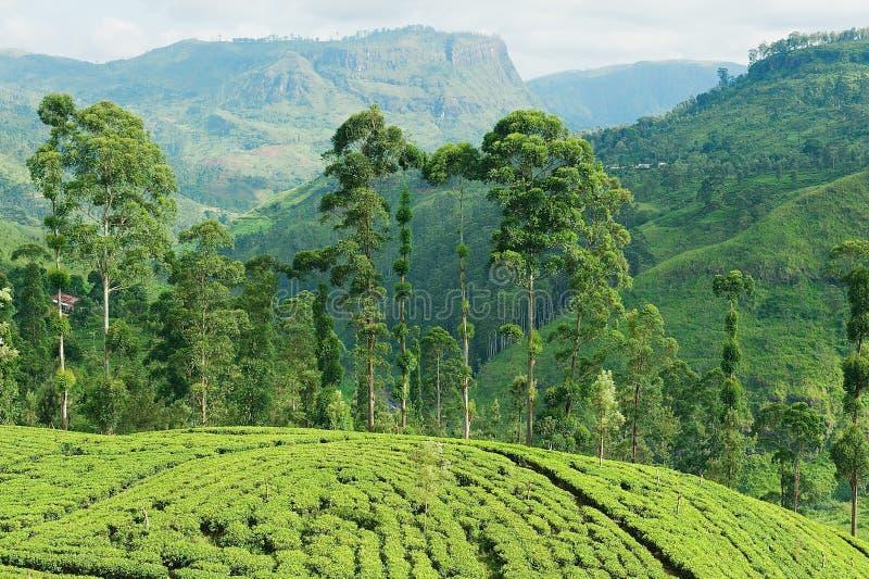 对茶园的看法在康提,斯里兰卡附近 免版税图库摄影