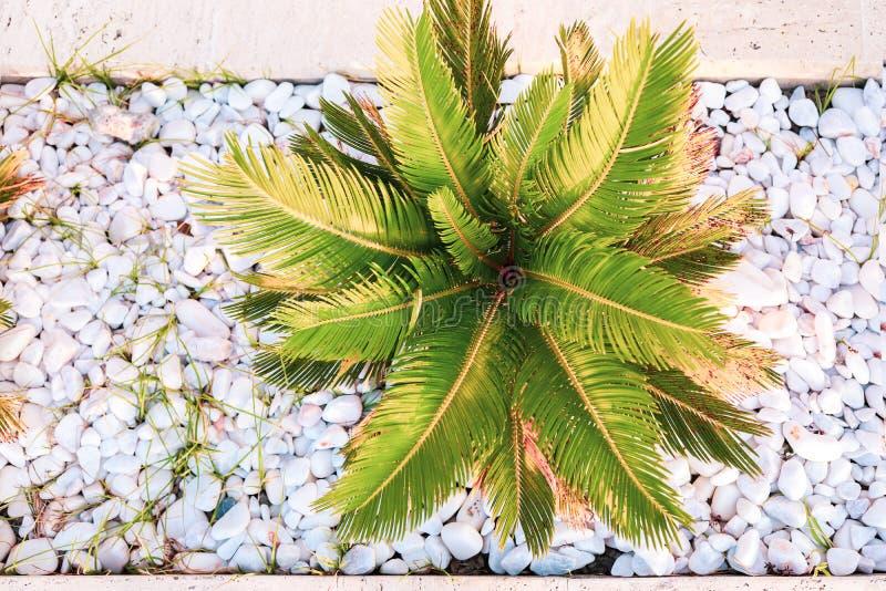 对被日光照射了年轻热带棕榈的顶视图在小白色圆的石头中 库存照片