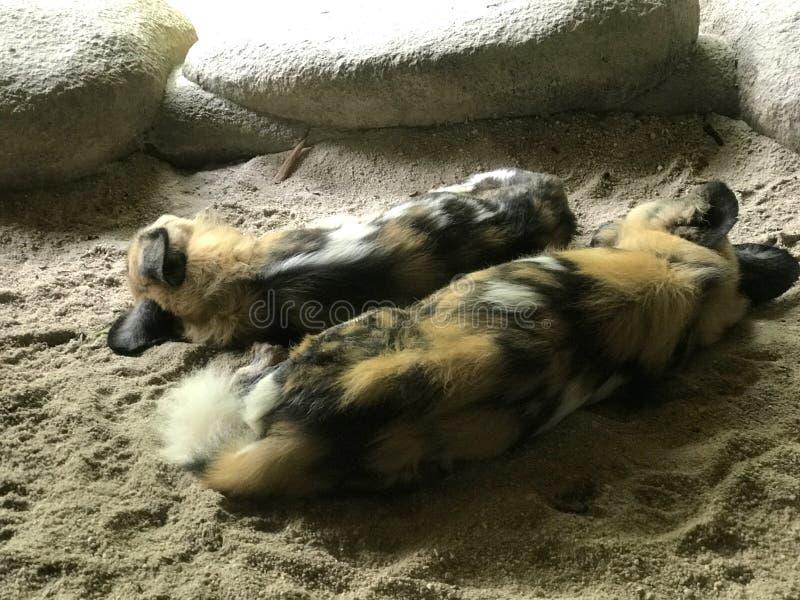 对被绘的狗睡觉 图库摄影