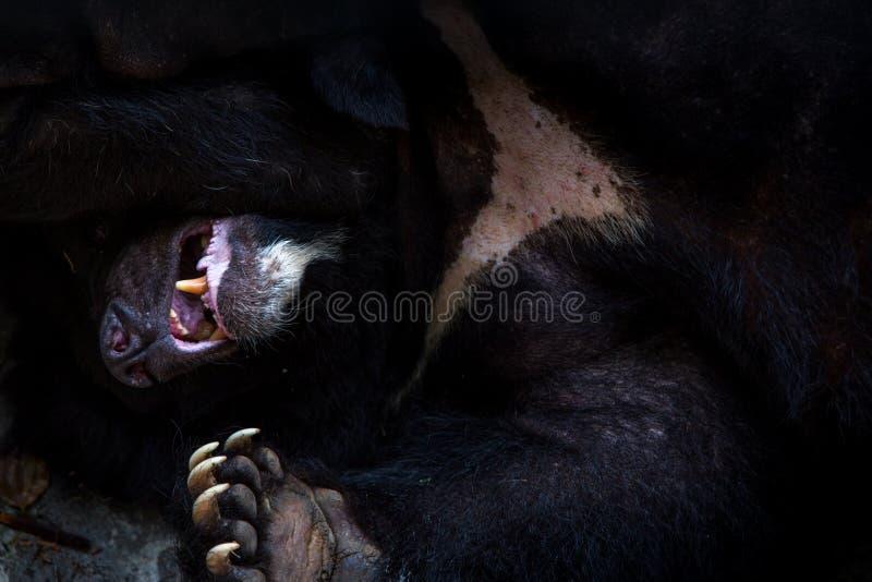 对躺下在森林的成人福摩萨黑熊的面孔的特写镜头 免版税库存照片