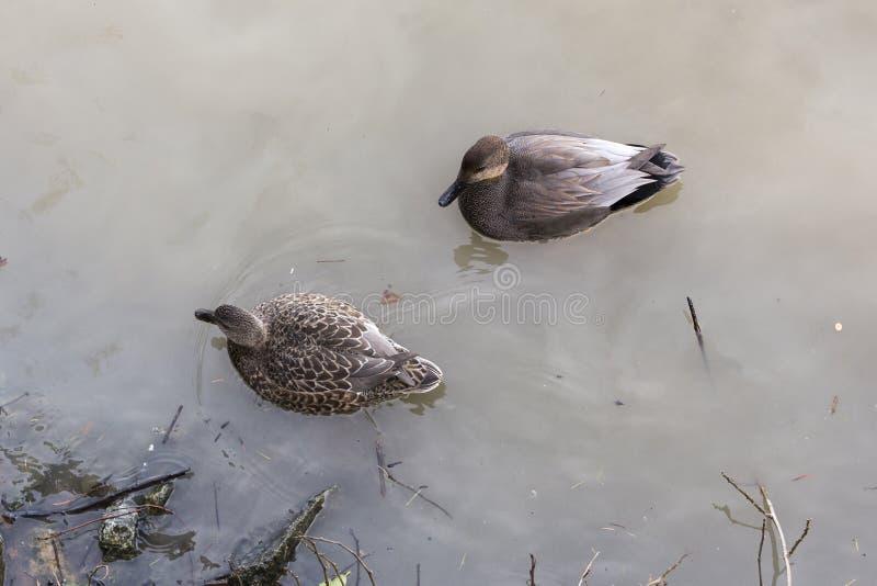对野鸭鸭子 免版税图库摄影