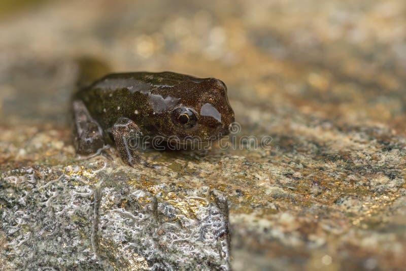 对青蛙的蝌蚪变形 免版税库存照片
